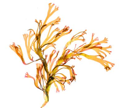 algue dorée