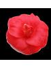 Huile de Camellia